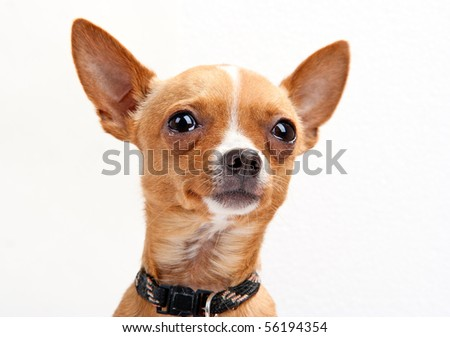 Close-up portrait of chihuahua on the white background