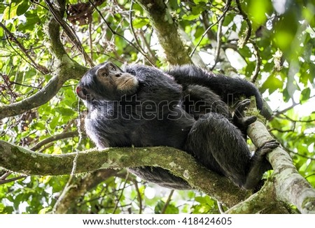 Close up portrait of chimpanzee ( Pan troglodytes ) resting in the jungle on the tree. Kibale forest in Uganda  - stock photo