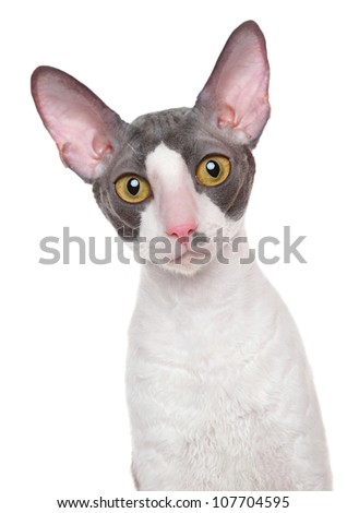 Close-up portrait of Cornish Rex cat on a white background