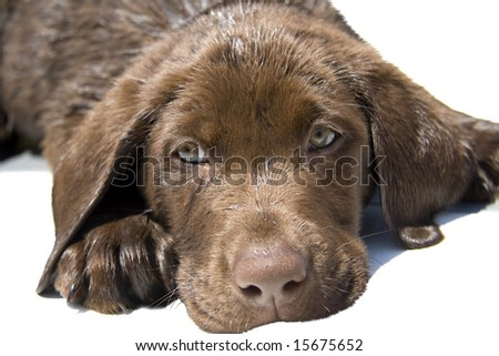 Close up portrait of cute chocolate lab puppy. - stock photo