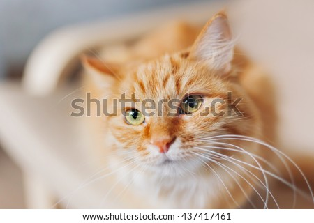 Close up portrait of cute ginger cat. Fluffy pet looks tired. Cozy home background.