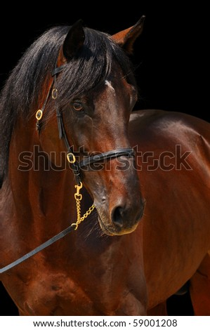 Close-up portrait of dark stallion, isolated on black
