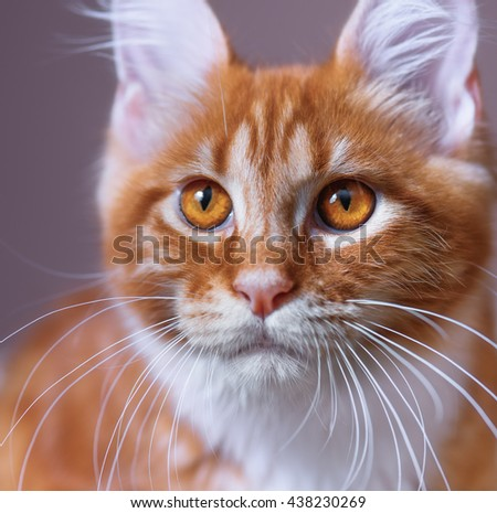 Close up portrait of domestic red Maine Coon kitten, 3,5 months old