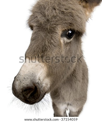 Close-up portrait of donkey foal, 2 months old, against white background, studio shot - stock photo