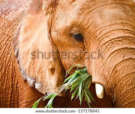 Close up portrait of elephant while feeding - stock photo
