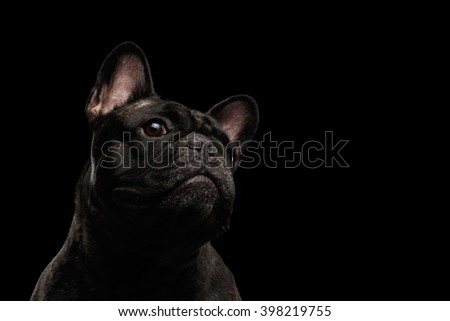 Close-up Portrait of French Bulldog Dog Curiously Looking up Isolated on black background - stock photo
