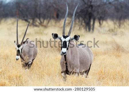 close up portrait of Gemsbok, Oryx gazella, dominant Gemsbok antelope in the park, Etosha, Namibia - stock photo