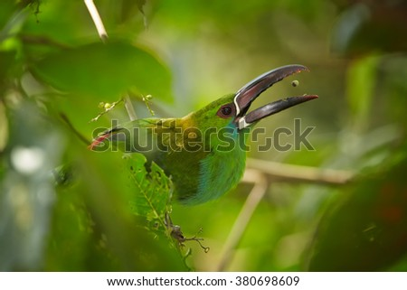 Close up portrait of green toucanet, Crimson-rumped Toucanet Aulacorhynchus haematopygus, perched on twig behind blurred leaves, with fruit berry just falls in to opened large beak. - stock photo