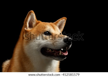 Close-up Portrait of head Shiba inu Dog, Looks Curious and smiling, Isolated Black Background, Profile view - stock photo