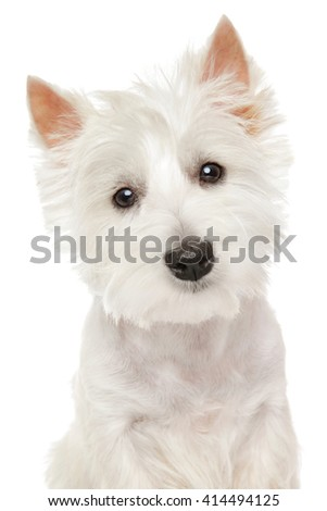 Close-up portrait of Highland white Terrier westie isolated - stock photo