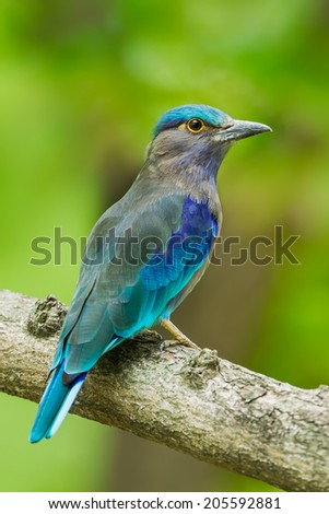 Close up portrait of Indian roller(Coracias benghalensis)  in nature of Thailand - stock photo