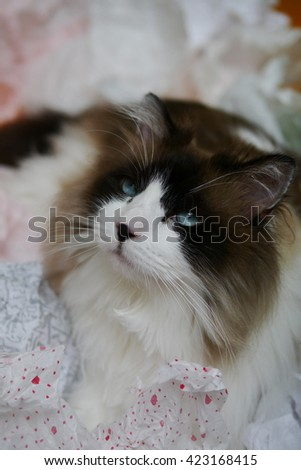 Close Up Portrait of Large Bi Color Brown White Ragdoll Call with Black Nose and Beautiful Blue Eyes Looking Up while playing in holiday tissue - stock photo