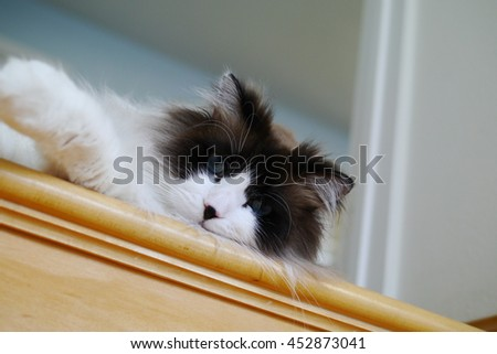 Close Up Portrait of Large Long Haired Bi Color Brown White Ragdoll Cat with Blue Eyes Laying on Wooden Step - stock photo