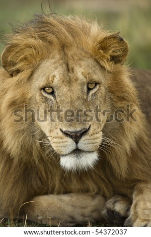 Close-up portrait of Lion, Serengeti National Park, Serengeti, Tanzania, Africa - stock photo