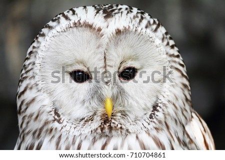 Close-up portrait of long-tailed tawny owl (Strix uralensis)