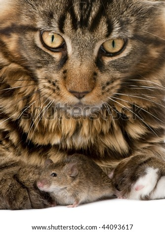 Close-up portrait of Maine Coon and wild mouse, 7 months old - stock photo