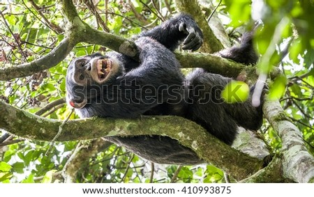 Close up portrait of male chimpanzee ( Pan troglodytes ) resting in the jungle on the tree.  Kibale forest in Uganda  - stock photo