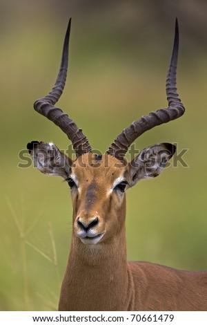 Close-up portrait of male Impala; aepyceros melampus; South Africa - stock photo