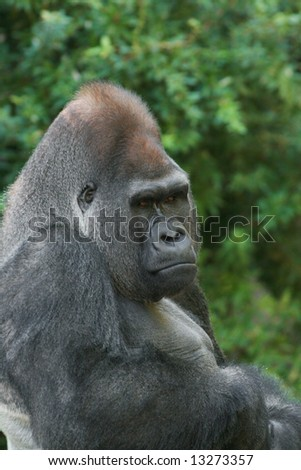 Close-up portrait of male Western Lowland Gorilla