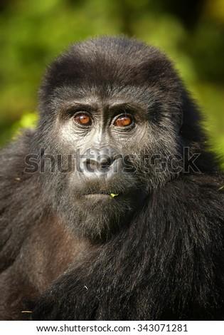 Close up portrait of mountain gorilla in the jungle of volcanic Virunga Mountains in Uganda - stock photo