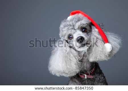 Close-up portrait of obedient small gray poodle with red christmas cap and leather collar celebrating new year holiday on blue background