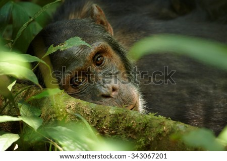 Close up portrait of old chimpanzee Pan troglodytes resting in the jungle of Kibale forest in Uganda - stock photo