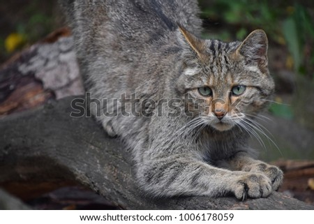 Close up portrait of one European wildcat (Felis silvestris) sharpen claws and looking at camera alerted, low angle view