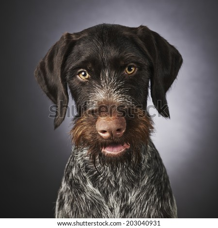 Close up portrait of one years old purebred German wire-haired pointer, studio shot - stock photo