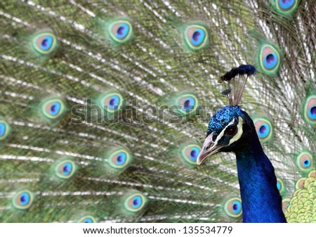 Close up portrait of peacock male - stock photo