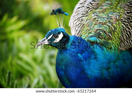 Close up portrait of peacock male