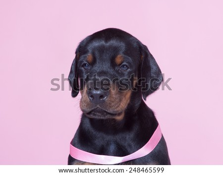 Close up Portrait of Puppy with pink belt  on pink background - stock photo