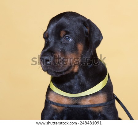 Close up Portrait of Puppy with yellow belt  on same background - stock photo