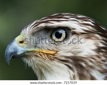 Close-up portrait of Red-Shouldered Hawk - stock photo