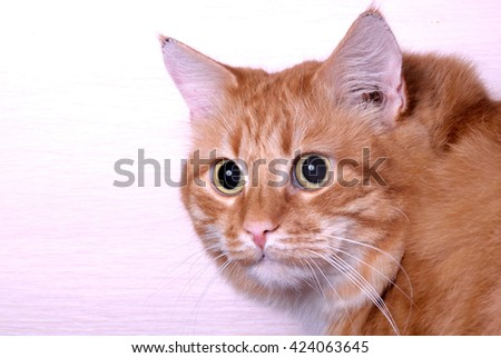 Close up portrait of redhead domestic male cat