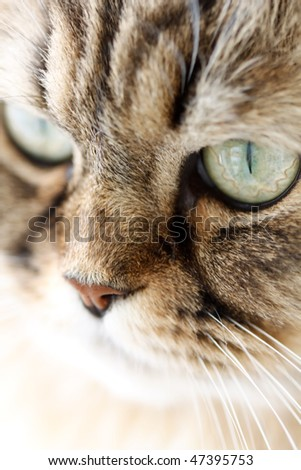 Close-up portrait of Siberian cat