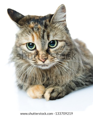 Close-up portrait of Siberian cat. isolated on white background - stock photo