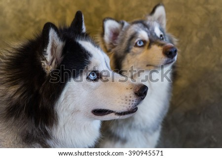 Close-up portrait of Siberian Husky dogs. - stock photo