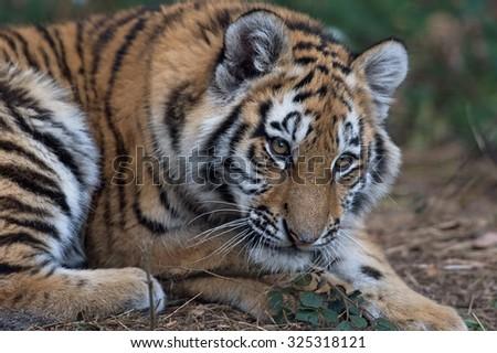 Close up portrait of Siberian Tiger Cub/Amur Tiger Cub/Siberian Tiger Cub(Panthera Tigris Altaica) - stock photo