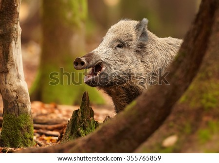 Close up portrait of smiling big  Sus scrofa Wild boar in autumn beech forest staring directly at camera. Colorful orange leaves on the ground, framed by blurred trees. European lowland forest. - stock photo