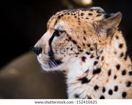 Close up portrait of Snow Leopard cub. - stock photo