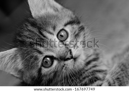 Close-up portrait of tabby house cat - black and white - stock photo