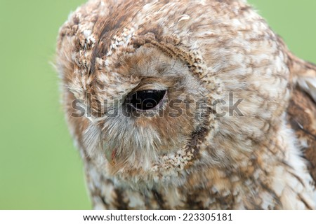 Close up portrait of Tawny Owl head in profile/Tawny Owl/Tawny Owl (strix aluco)  - stock photo