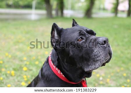 close-up portrait of the dog breed Cane corso italiano - stock photo