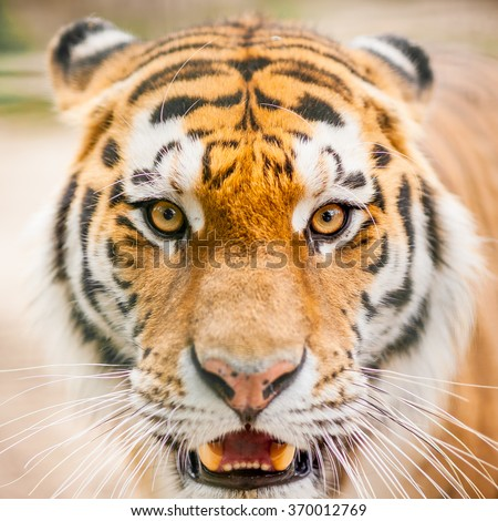 Close up portrait of the endangered bengal tiger living in captivity in an European zoo - stock photo