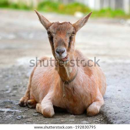 Close up portrait of  The goat leisure on the outdoor  - stock photo