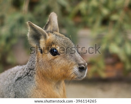 Close up portrait of the head of Patagonian Mara. This animal  is a relatively large rodent in the mara genus. It is also known as the Patagonian cavy, Patagonian hare or dillaby.  - stock photo