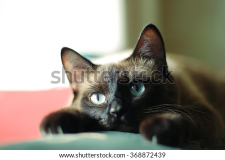 Close up portrait of the siamese cat with blue eyes and paws - stock photo