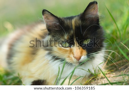 Close-up portrait of three-colors cat laying in the grass and looking seriously. - stock photo