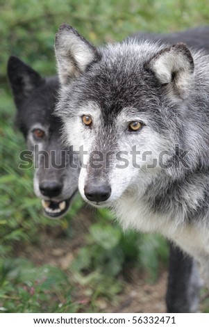 Close up portrait of two wolves - stock photo