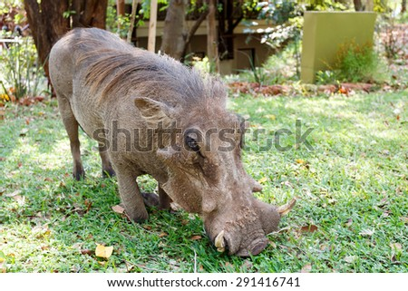 close up portrait of wart hog male in walking in campsite on Victoria Falls, Zimbabwe - stock photo